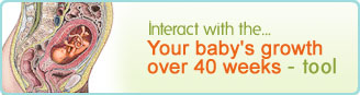 Your baby's growth over 40 weeks.