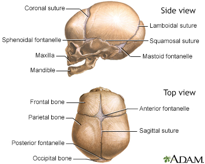 Skull of a newborn