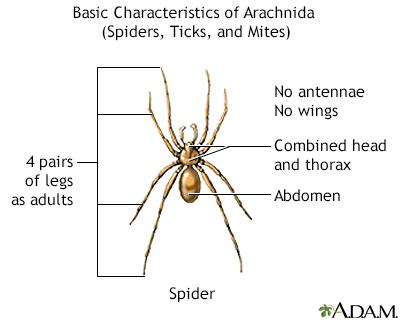 Características básicas de los arácnidos