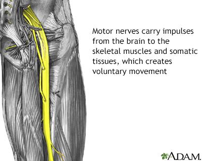 Motor nerves