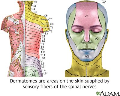 Adult dermatome