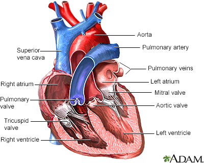Heart valves - anterior view