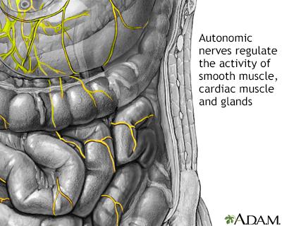 Nervios autónomos
