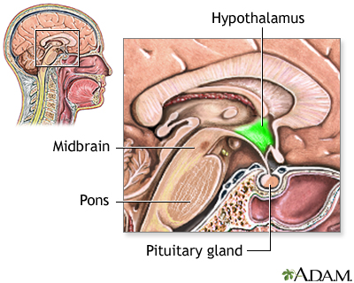 Hypothalamus