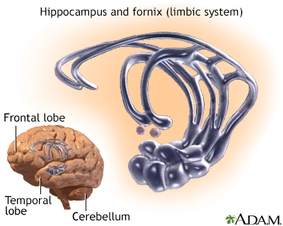 Limbic system