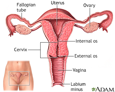 Uterus
