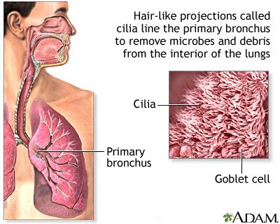 Respiratory cilia