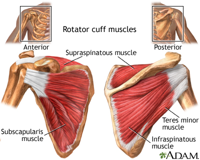 Rotator cuff muscles