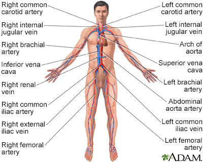 Circulatory system