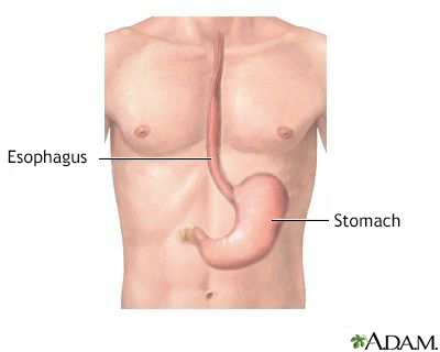 Esophagus and stomach anatomy