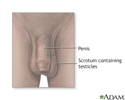 Testicular anatomy
