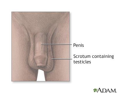 Anatomía testicular