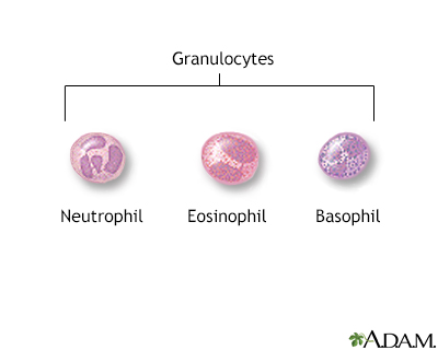 Granulocyte