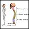 Skeletal spine