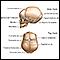 Cráneo del recién nacido