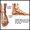 Plantar fascia