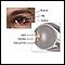 Anatomía del cristalino del ojo