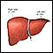Anatomía del hígado