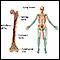Long bones